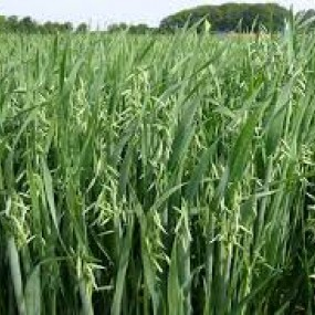 Oats Avena rossa Prevision 105 Kg - Arcoiris organic and biodynamic seeds