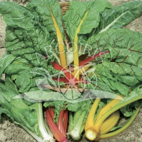 Bright Lights Swiss chard 50 g - Arcoiris organic and biodynamic seeds