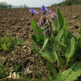 Borragine (Borago Officinalis) 10 g - Arcoiris sementi biologiche e biodinamiche