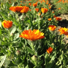 Marygold (Calendula Officinalis) 5 g - Arcoiris organic and biodynamic seeds
