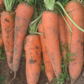 Carrot Flakkèe 50 g - Arcoiris organic and biodynamic seeds