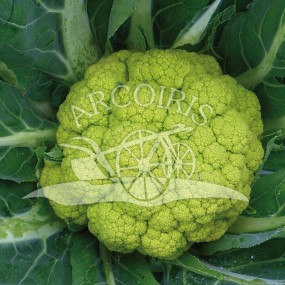 Cauliflower verde di Macerata - 2500 seeds - organic and biodynamic seeds