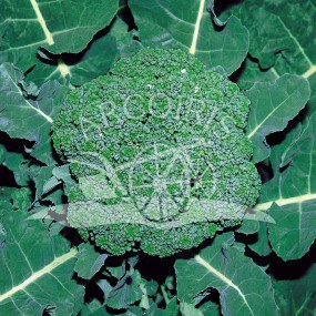 Broccoli Ramoso Calabrese 3000 seeds - Arcoiris organic and biodynamic seeds