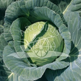 Cabbage savoy Copenhagen market 2 - 1000 seeds - Organic and biodynamic seeds