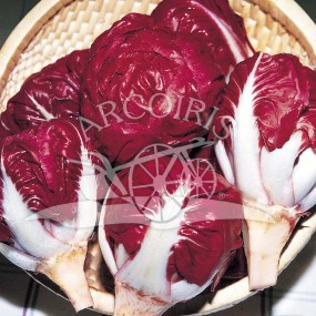 Chicory rossa di Verona a palla 25 g - Arcoiris organic and biodynamic seeds