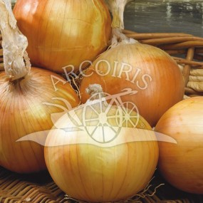 Onion yellow Density  25 g - Arcoiris organic and biodynamic seeds
