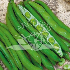 Broad Bean Aguadulce Supersimonia 25 kg - Arcoiris organic and biodynamic seeds