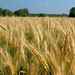 Common wheat TERRAMARE - 25 Kg - Organic and biodynamic seeds