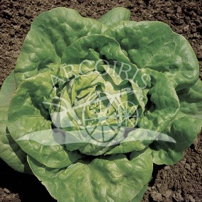 Lettuce S. Anna 25 g - Arcoiris organic and biodynamic seeds