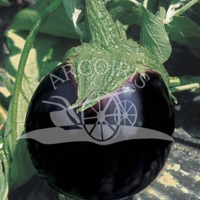 Eggplant Black Beauty 2000 seeds - Arcoiris organic and biodynamic seeds