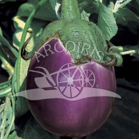 Violet aubergine from Florence 2000 seeds - Arcoiris organic and biodynamic seeds