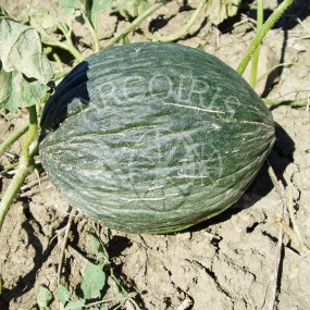 Melon Green Tendral 10 g - Arcoiris organic and biodynamic seeds