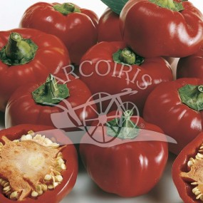 Pepper Topepo Rosso Dolce 500 semi - Arcoiris organic and biodynamic seeds
