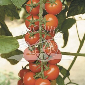 Tomato Ciliegia 500 seeds - Arcoiris organic and biodynamic seeds