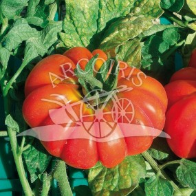 Tomato Costoluto Fiorentino 3000 semi - Arcoiris organic and biodynamic seeds