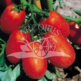 Tomato S. Marzano Nano 10 g - Arcoiris organic and biodynamic seeds
