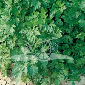 Parsley Comune 2 500 g - Arcoiris organic and biodynamic seeds