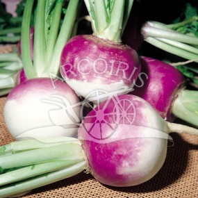 Turnip Tonda Colletto Viola 25 g - Arcoiris organic and biodynamic seeds